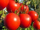 گلستان ما - صدور پروانه حد مجاز آلاینده ها برای گوجه فرنگی درگلستان