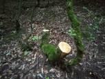 گلستان ما - قلع و قم بی رحمانه درختان تفرجگاه اقسوی کلاله در غفلت مسئولین+ تصاویر